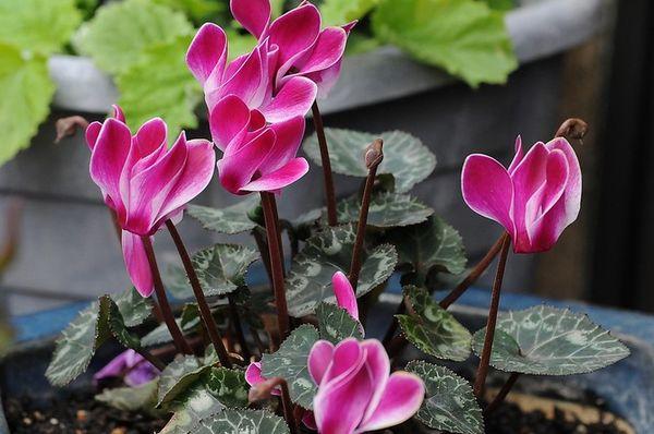 Растение любит прохладу и рассеянный свет