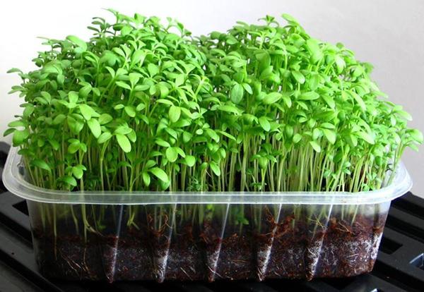 Кресс-салат легко вырастить на подоконнике даже новичку