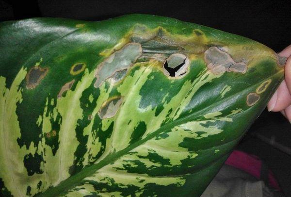 Пятнистость листьев у диффенбахии провоцируют грибы Phaeosphaeria eustoma