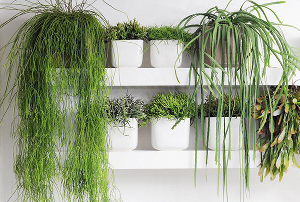 Лесные эпифитные растения - рипсалисы