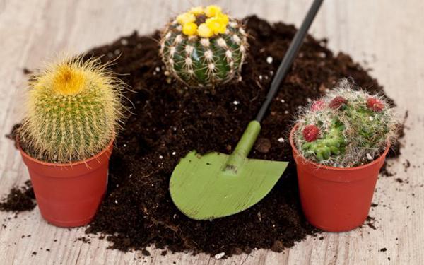 Молодые кактусы требуют ежегодной пересадки