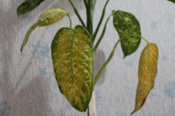 Диффенбахия часто подвергается грибковым недугам