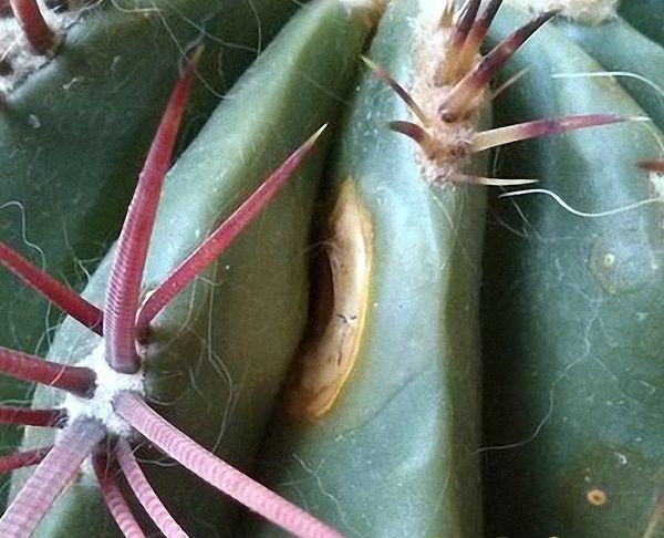 Бурая пятнистость кактуса