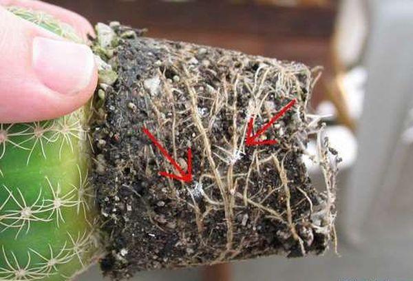 Мучнистые червецы – это маленькие насекомые
