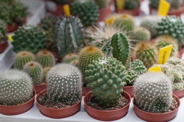 Всходы кактусовых характеризуются шарообразной или цилиндрической формой