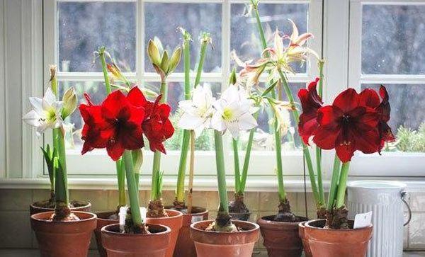 Пересадка луковичных комнатных растений