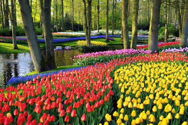 Тюльпанами засаживают огромные площади