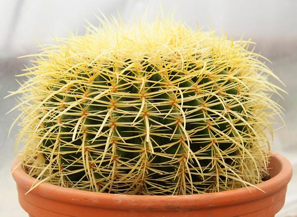 Кактус я ярко-желтыми иголками Echinocactus grusonii (Эхинокактус Грузона)