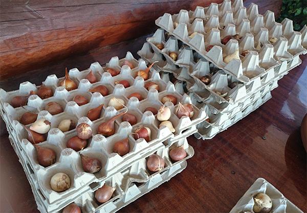 Хранение луковиц в яичных лотках
