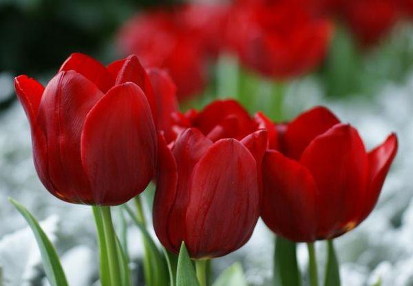Тюльпан Гавота Триумф описание и выращивание сорта