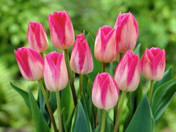 Тюльпаны из категории Триумф