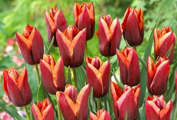 Популярный тюльпан Слава