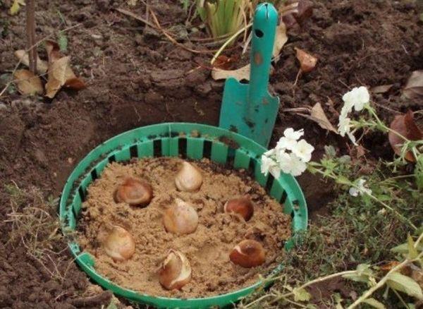 Тюльпаны в контейнерах открытого грунта