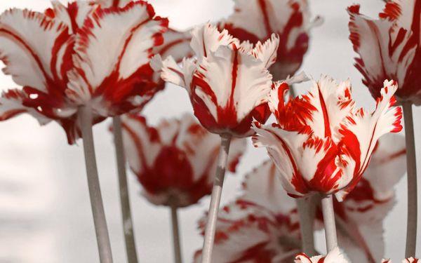 Попугайные тюльпаны – экстравагантные экзоты