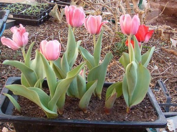 Тюльпаны можно выращивать в Сибири