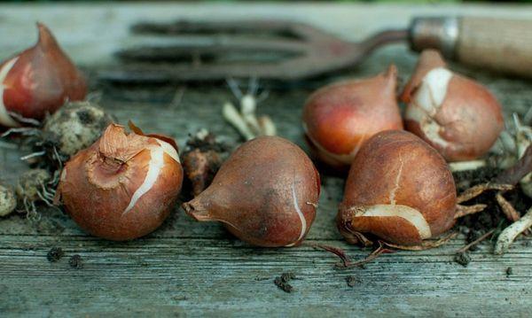 Луковицы тюльпанов для посадки