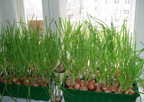 Зеленый лук можно выращивать как из семян, так и из луковчиц