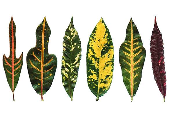 Для кодиеума характерны листья разной формы и окраса