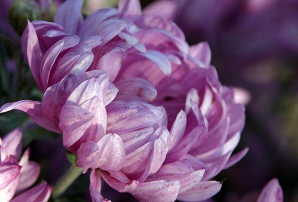 Индийская хризантема широко применяется в ландшафтном дизайне
