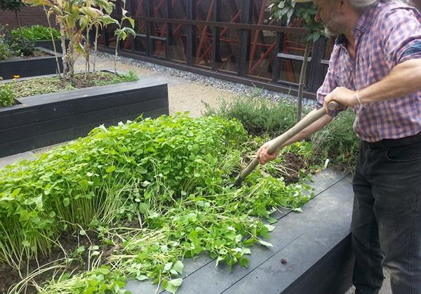 Перекопать участок можно вместе с растущими на нем растениями помощниками