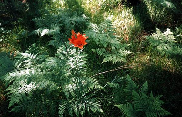 Цветок папоротника из старинных легенд