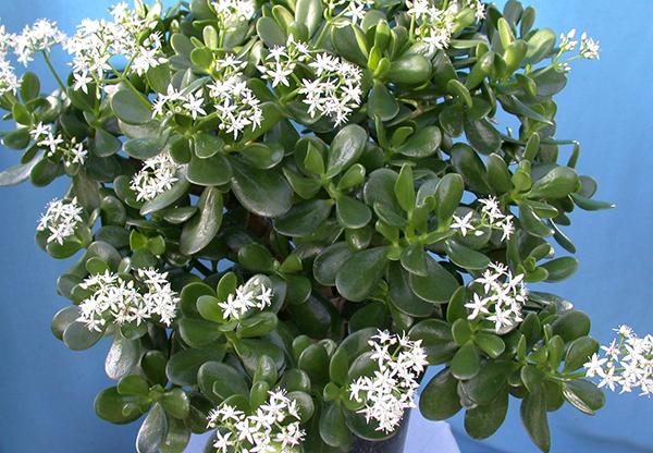 Денежное дерево в период цветения