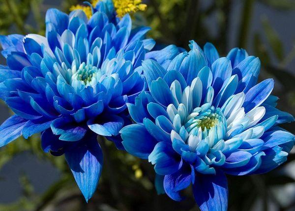 Синяя хризантема – это результат окрашивания растения