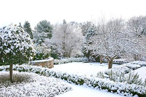 Снег защищает плодовые культуры и многолетники