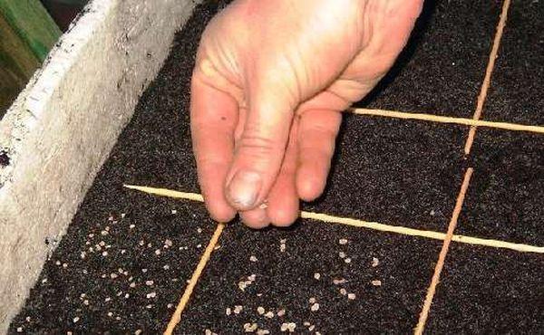 Прорастить новый алоэ можно и из семян