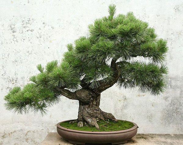 bonsay-sosna Как из японской белой сосны вырастить бонсай