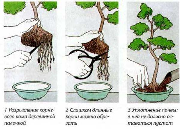 Каждые 3–4 года дерево нужно пересаживать в горшок большего размера