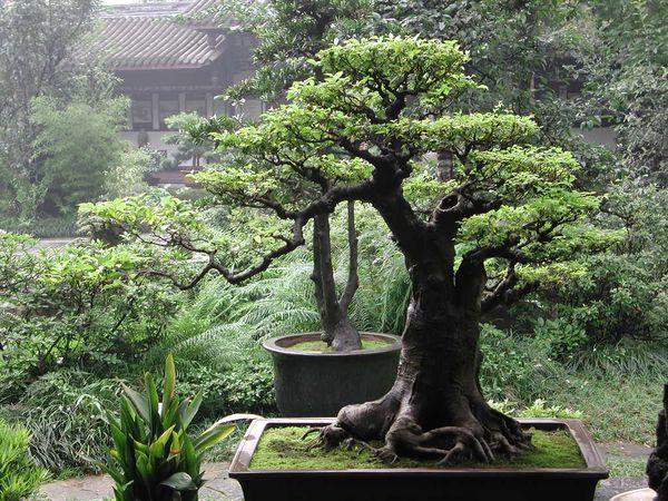 Декоративное карликовое растение под названием бонсай