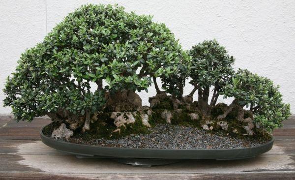 Декоративное оливковое дерево
