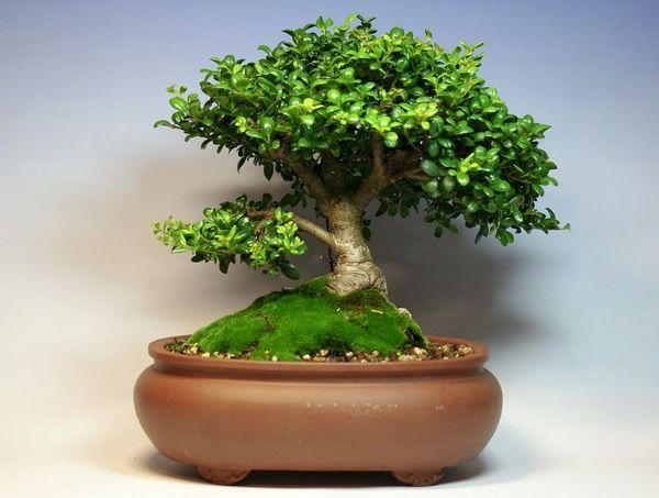 Декоративное растение Самшит