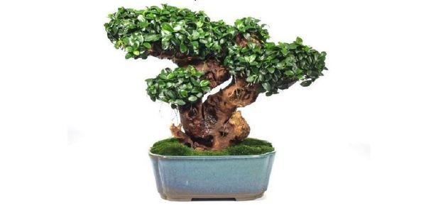 Декоративное дерево Анубиас