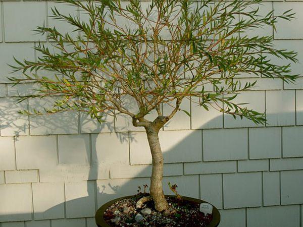 Декоративное дерево Ива