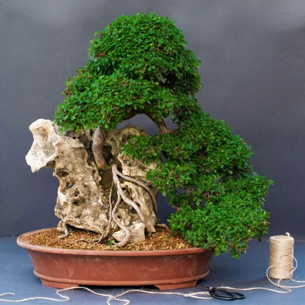 Декоративное дерево Вяз