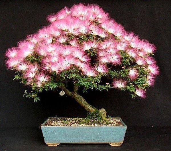 Декоративное растение Альбиция