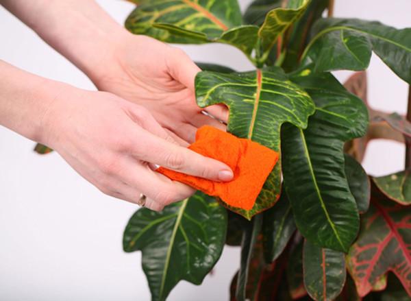 Рекомендуется время от времени протирать листья