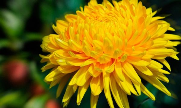 Хризантема желтого цвета