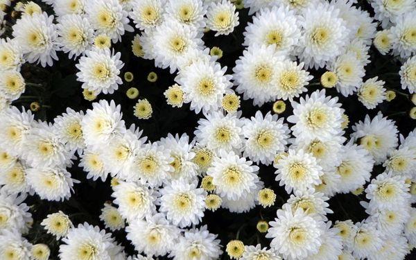 Хризантема белого цвета