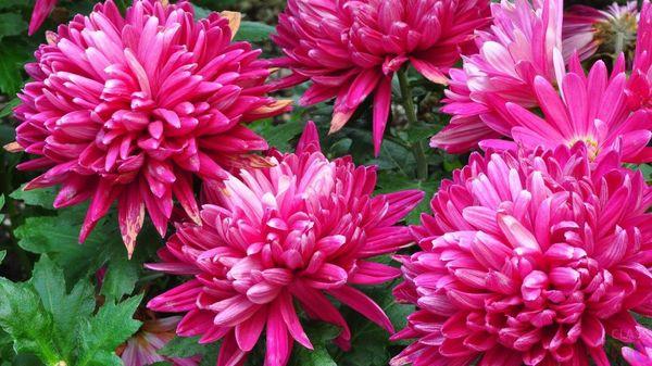 Цветы розового оттенка в большинстве своем символизируют влюбленность