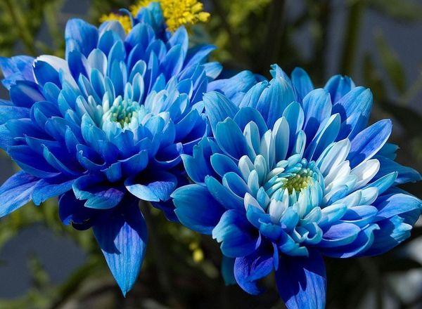Синие хризантемы символизируют оригинальность и креативность