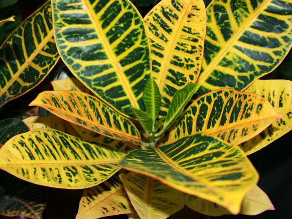 Характерный окрас листьев кодиеума Петра