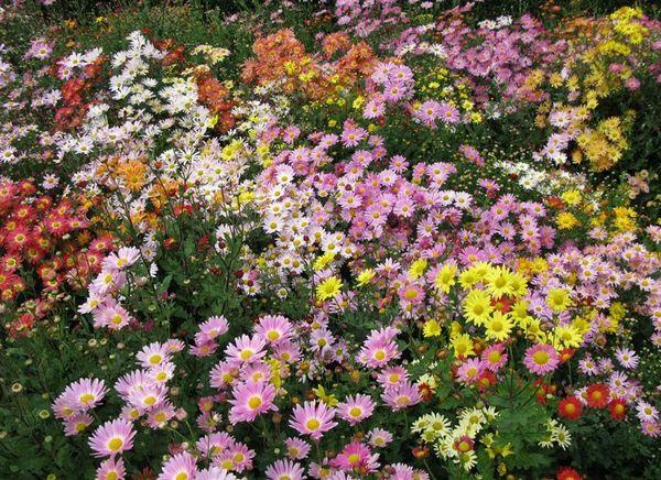 Корейская хризантема – многолетняя гибридная разновидность