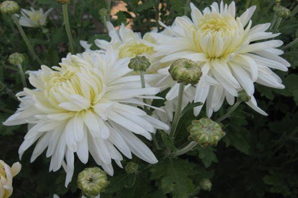 Корейская белая хризантема