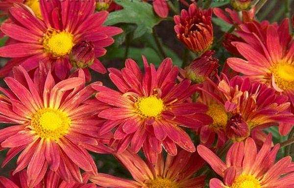 Сорт хризантемы Ромашка
