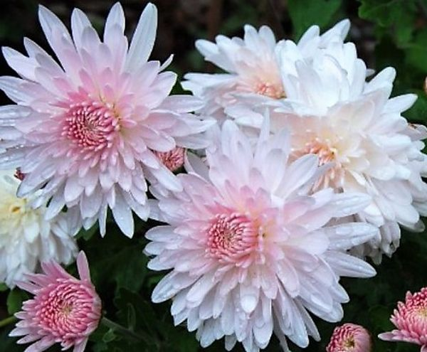 Сорт хризантемы Яблоневый цвет