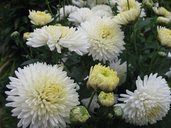 Корейская хризантема Умка