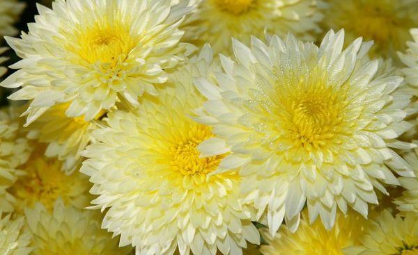 Корейская хризантема Солнышко